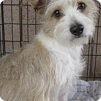 Adopt A Pet :: Niki - Phoenix, AZ