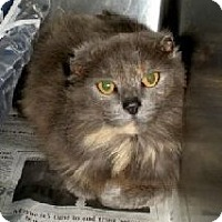 Domestic Mediumhair Cat for adoption in Columbus, Ohio - Heather