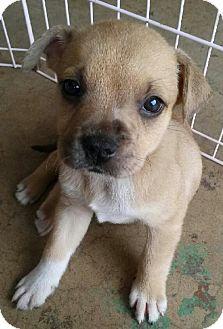 Catahoula Leopard Dog/Labrador Retriever Mix Puppy for adoption in