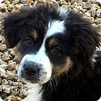 Adopt A Pet :: Dakota - Phoenix, AZ