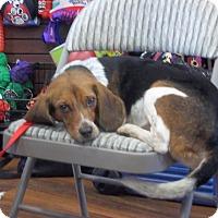 Adopt A Pet :: Queso - Dumfries, VA