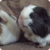 Adopt A Pet :: Cooper - Steger, IL