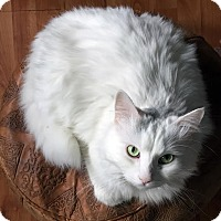 Domestic Longhair Cat for adoption in Toronto, Ontario - Gandalf *declawed*