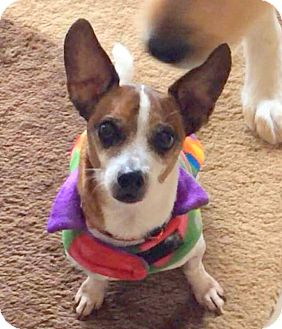 Jack Russell Terrier/Rat Terrier Mix Dog for adoption in Indianapolis, Indiana - Buzz