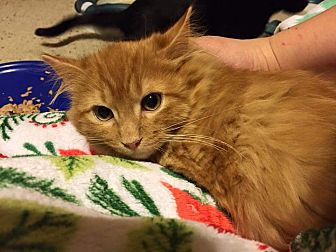 Domestic Mediumhair Cat for adoption in Wichita Falls, Texas - Aries