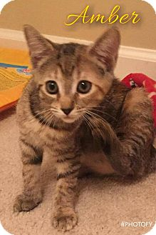 Domestic Shorthair Kitten for adoption in Garner, North Carolina - Amber
