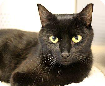 Domestic Shorthair Cat for adoption in Sarasota, Florida - Midnight