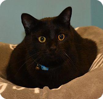 Domestic Shorthair Cat for adoption in Cincinnati, Ohio - Monty