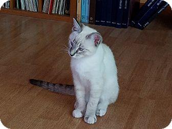 Siamese Kitten for adoption in Upland, California - Blue