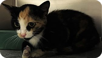 Domestic Shorthair Cat for adoption in Chattanooga, Tennessee - Capri