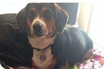 Cardigan Welsh Corgi/Beagle Mix Dog for adoption in Arlington, Texas - Amy