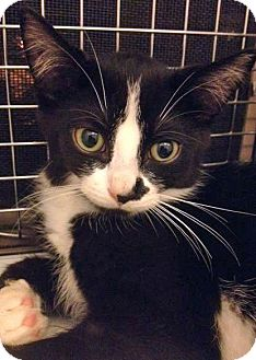 Domestic Shorthair Kitten for adoption in Toronto, Ontario - Melody