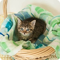 American Shorthair Kitten for adoption in Muskegon, Michigan - Trouble