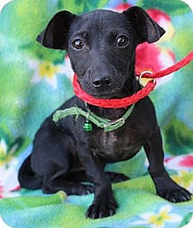 Chihuahua Mix Puppy for adoption in Willows, California - Amaris