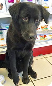 Flat-Coated Retriever Mix Dog for adoption in BIRMINGHAM, Alabama - Uzo
