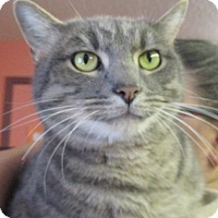 Domestic Shorthair Cat for adoption in Reeds Spring, Missouri - Lucky