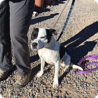 Border Collie/Australian Kelpie Mix Dog for adoption in Cedaredge, Colorado - Dixie