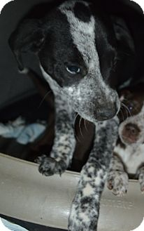 Pointer Mix Puppy for adoption in Peyton, Colorado - Oreo