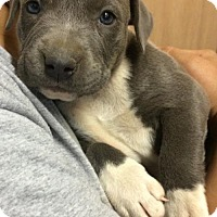 American Pit Bull Terrier Puppy for adoption in Fulton, Missouri - Dutchess - Tennessee