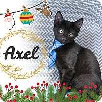 Domestic Shorthair Kitten for adoption in Montclair, California - Axel