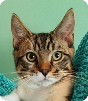 Domestic Shorthair Kitten for adoption in Colfax, Iowa - Astro