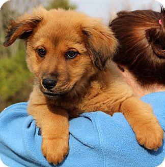 Golden Retriever/Australian Shepherd Mix Puppy for adoption in Glastonbury, Connecticut - Bullwinkle~adopted!