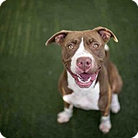 Pit Bull Terrier Dog for adoption in Bonita, California - MABLE