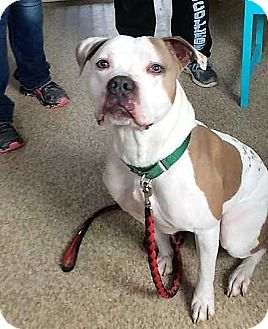 American Pit Bull Terrier/Boxer Mix Dog for adoption in Wenonah, New Jersey - Ceasar