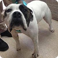 Adopt A Pet :: Princess Bell - Clarkesville, GA
