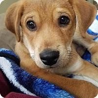 Adopt A Pet :: Abraham - Raleigh, NC
