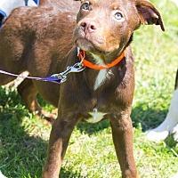 Adopt A Pet :: Cub - Millersville, MD