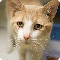 Adopt A Pet :: Ralphie - Merrifield, VA