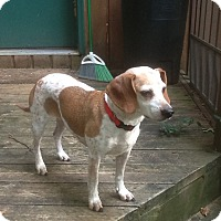 Adopt A Pet :: Bella Beagle mix - Lansing, MI