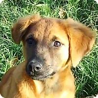 Adopt A Pet :: Foxy AD 01-16-16 - Preston, CT