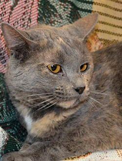 Domestic Mediumhair Cat for adoption in Trenton, Missouri - Misty