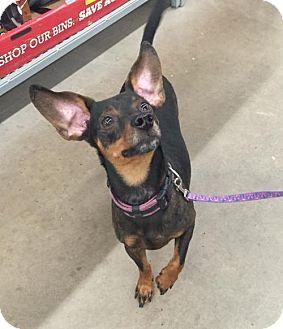 Dachshund/Miniature Pinscher Mix Dog for adoption in East Stroudsburg, Pennsylvania - Shorty