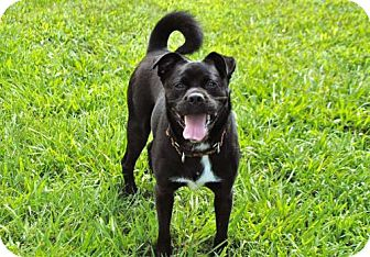 Boston Terrier Mix Dog for adoption in Andover, Connecticut - ANDY