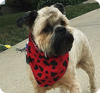 Brussels Griffon/Lhasa Apso Mix Dog for adoption in Overland, Kansas - STEVIE WONDER-Adopted