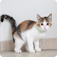 Domestic Shorthair Cat for adoption in Edina, Minnesota - Emma C160295: NO LONGER ACCEPTING APPLICATIONS