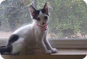 Domestic Shorthair Kitten for adoption in Monrovia, California - Arya