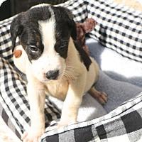 Adopt A Pet :: Lancaster - Norwalk, CT