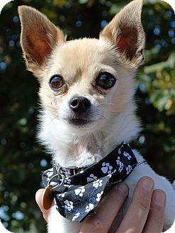 Chihuahua Mix Dog for adoption in Hayden, Idaho - Zak