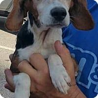Adopt A Pet :: Little Bit - Lexington, NC