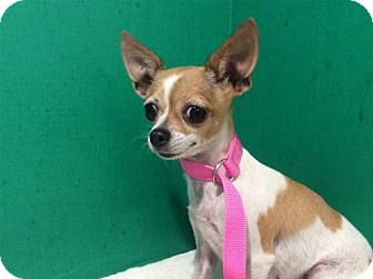 Chihuahua Dog for adoption in Pomona, California - I1263166