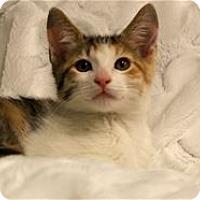 Adopt A Pet :: Calista - Lincoln, CA