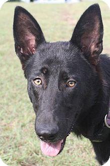German Shepherd Dog Dog for adoption in Dallas, Texas - Heidi
