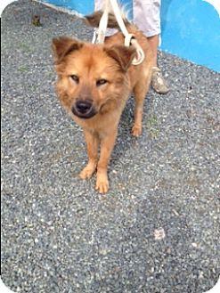Golden Retriever/Keeshond Mix Dog for adoption in Rowayton, Connecticut - Joey