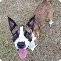 Adopt A Pet :: Calvin - Umatilla, FL