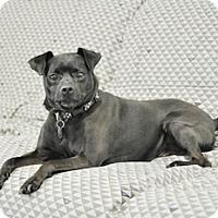 Pug Mix Dog for adoption in Woodburn, Oregon - Buddy Two