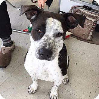 Spaniel (Unknown Type)/Pit Bull Terrier Mix Dog for adoption in Minneapolis, Minnesota - Sissy